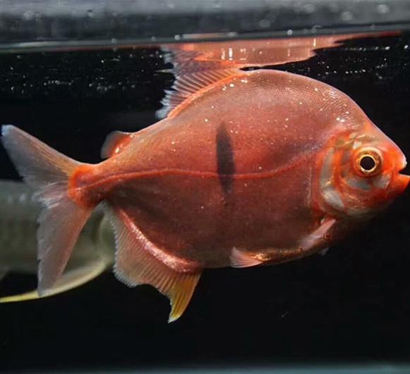 桂林玫瑰银版鱼 桂林水族新品 桂林龙鱼第2张