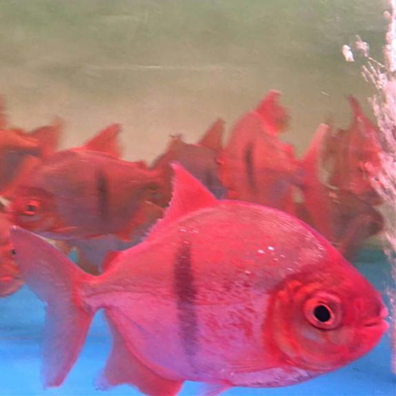 桂林玫瑰银版鱼 桂林水族新品 桂林龙鱼第3张