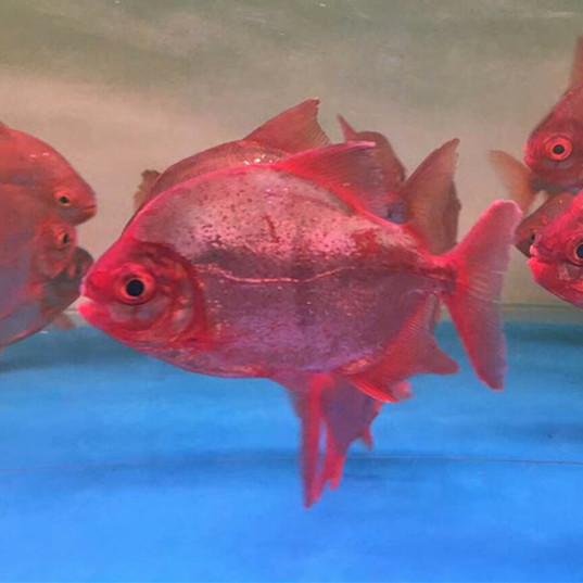 桂林玫瑰银版鱼
