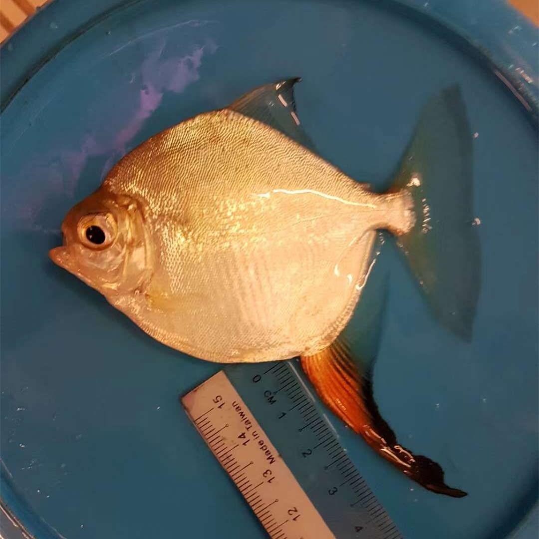 桂林红勾银版鱼